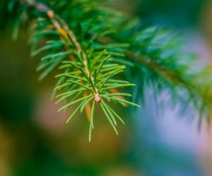 Fir Tree Branch Macro Wallpaper
