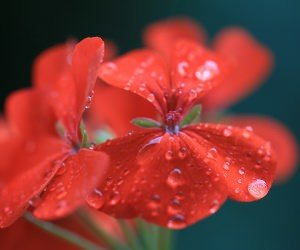 Red Geranium Wallpaper