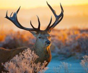 Tailed Deer Wallpaper