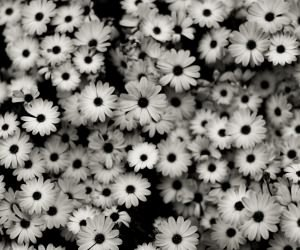 Black & White Daisies Wallpaper