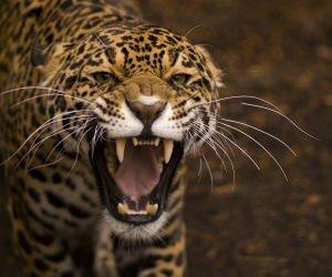 Growling Jaguar Wallpaper
