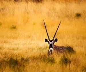 Antelope In The Savanna Wallpaper