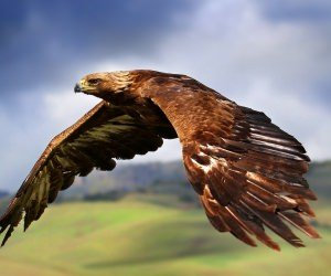 Golden Eagle Flying Wallpaper