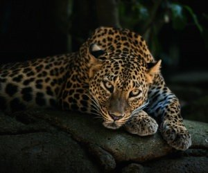 Leopard Lying On The Tree Wallpaper