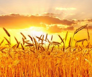 Golden Wheat Field At Sunset Wallpaper