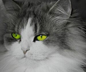 Cat With Stunningly Green Eyes Wallpaper