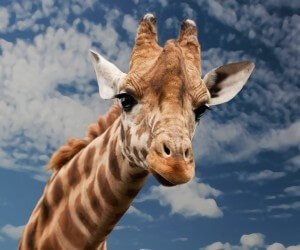 Funny Giraffe Wallpaper