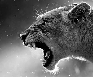 Lioness in Black & White Wallpaper