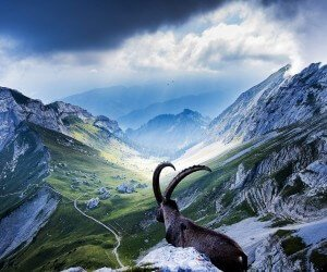 Goat at Pilatus, Switzerland Wallpaper
