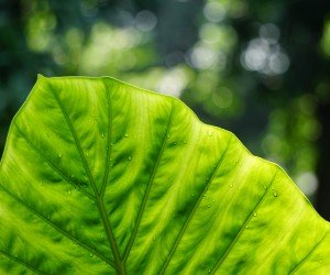 Big Green Leaf Wallpaper
